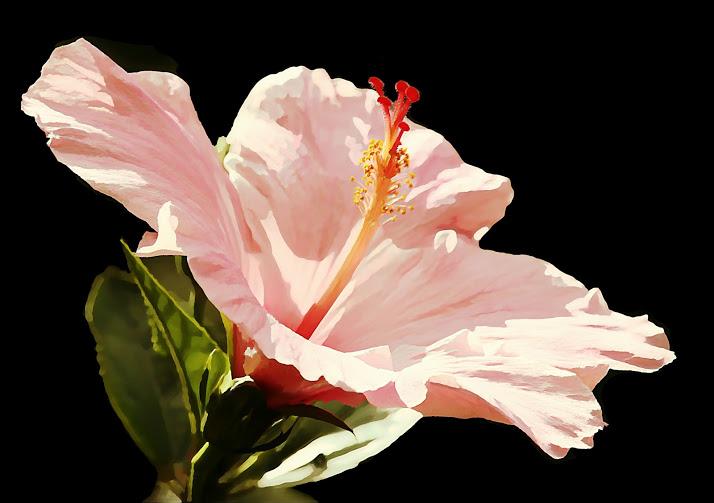 flowers_Seminole Pink Hibiscus