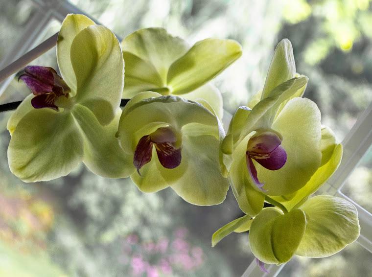 Orchid 55a copy