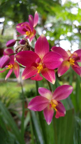 orchids_fuschia_pink_