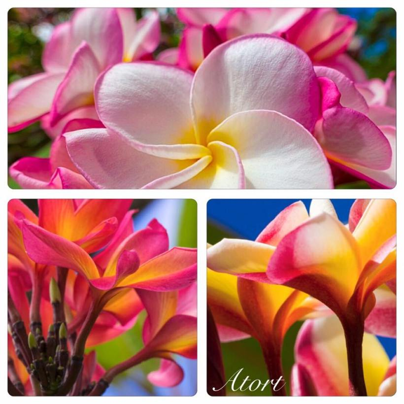 plumerias_assorted