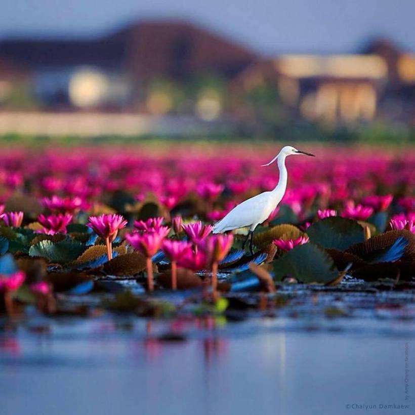 crane_lotus
