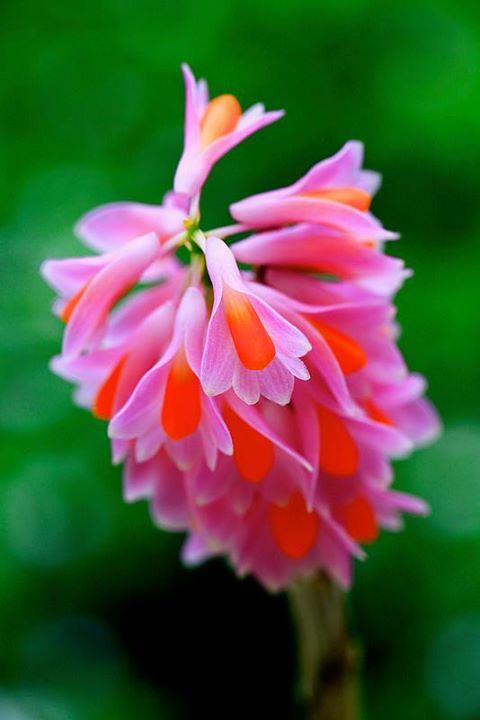 orchid_dendrobium_pseudoglomeratum
