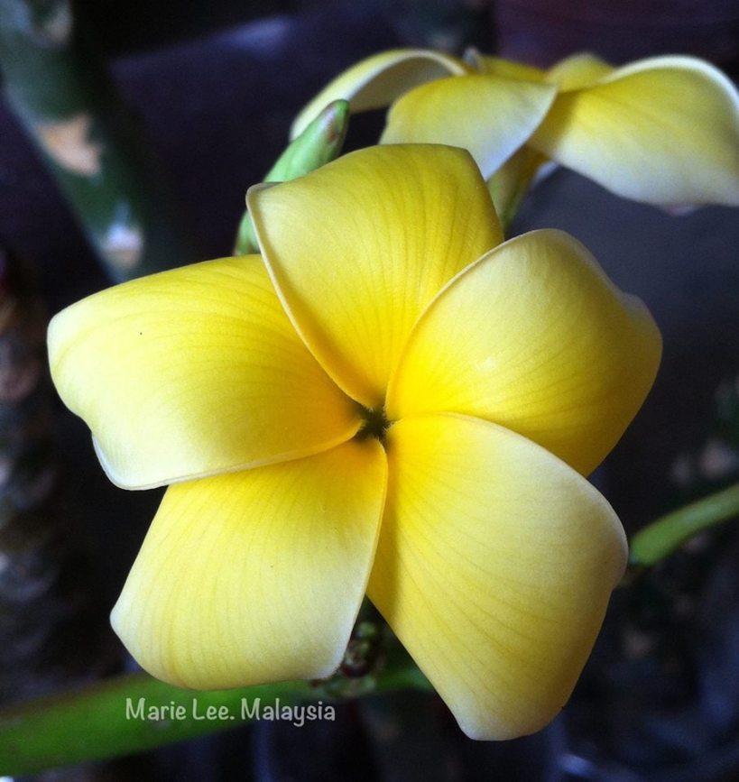 plumeria_yellow