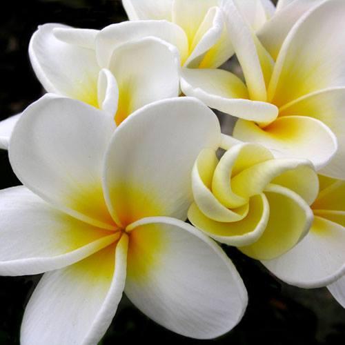 aloha_plumeria2