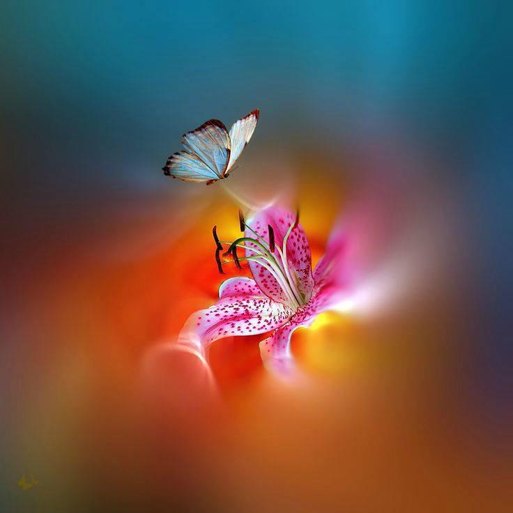 flowers-stargazer-butterfly