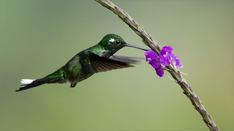 hummer-small-purple-flower