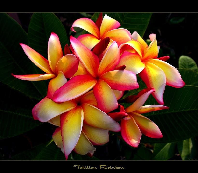 plumeria-tahitian-rainbow