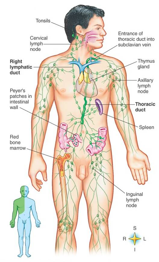 lymphatic-system-anatomy