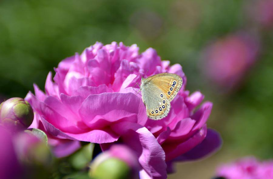peony_butterfly