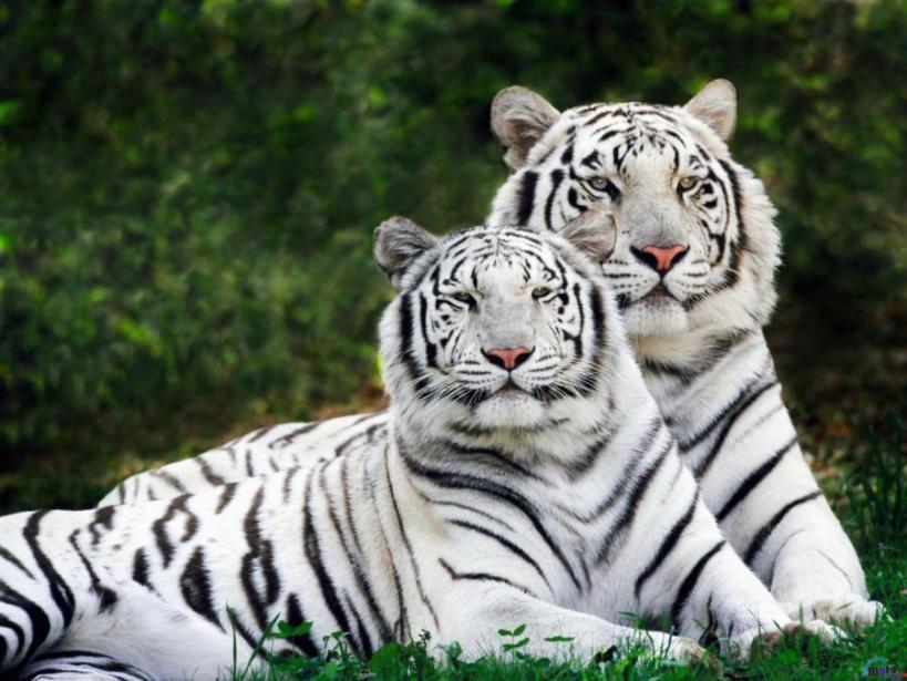 Белые тигры - White tigers Источник фото:   http://goo.gl/B3Ec1J