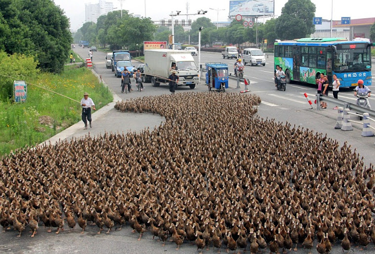 Farmer stops traffic taking his 5,000 ducks for a walk to the pond