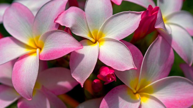 Beautiful-Hawaiian-Plumeria-Flowers
