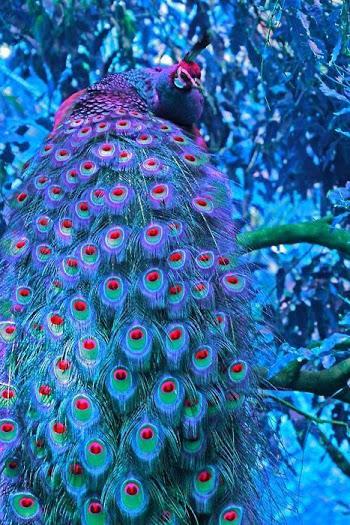 violet-peacock
