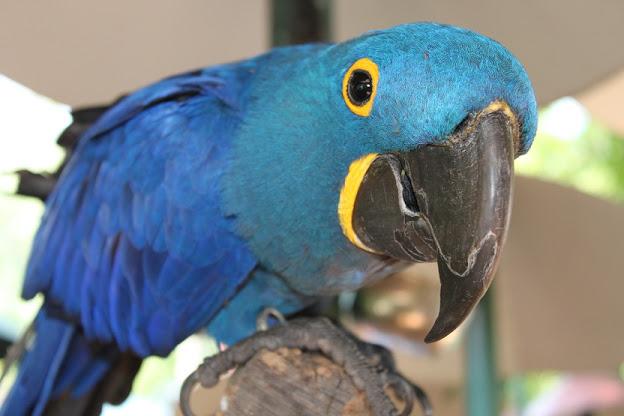 Hyacinth Macaw by TaraRW http://goo.gl/FEqfMo