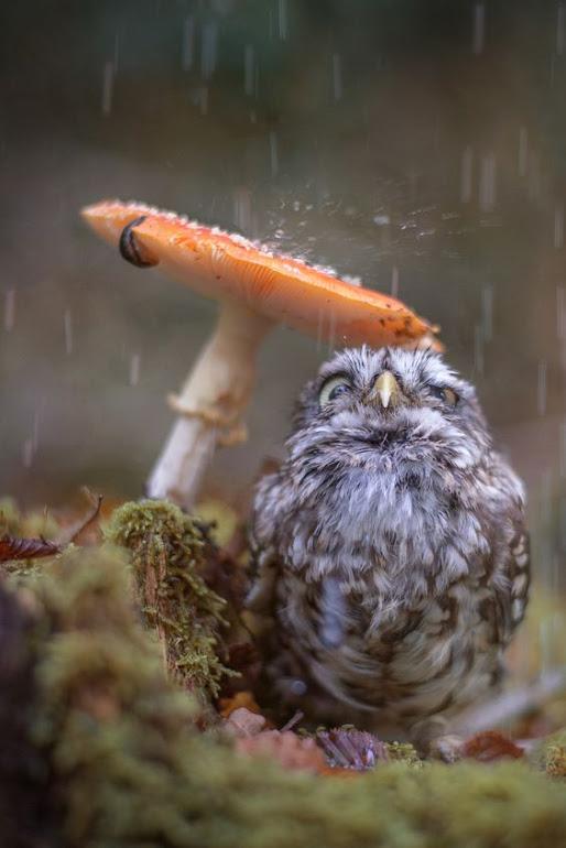 OWL-RAIN