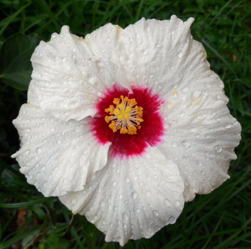 hibiscus-snow