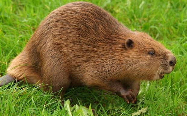 beaver-2_2533418b