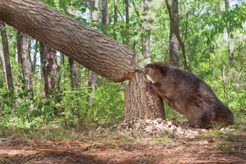 beaver-with-tree