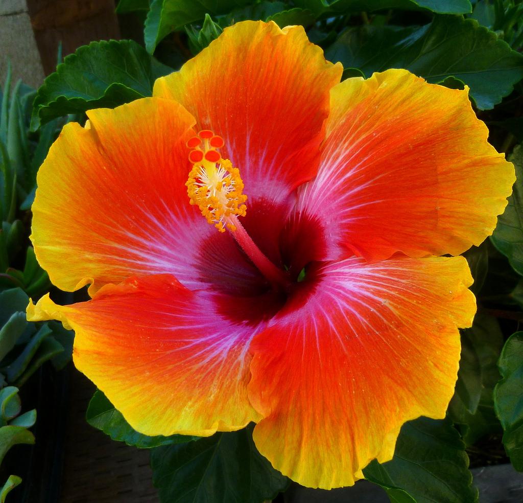 hibiscus-yel3