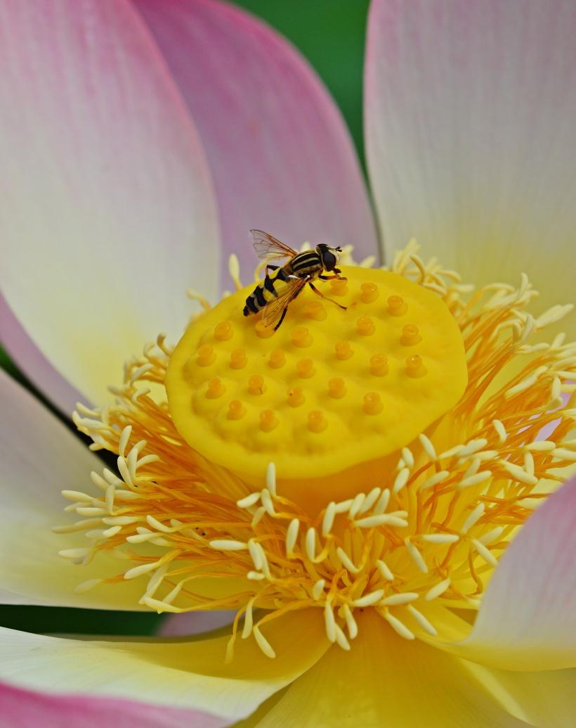bee-lotus