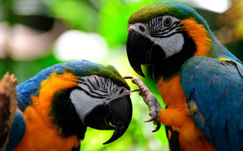 parrots-wallpapers-3