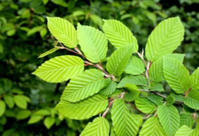 slippery-elm-benefits