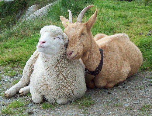 Lamb or Goat