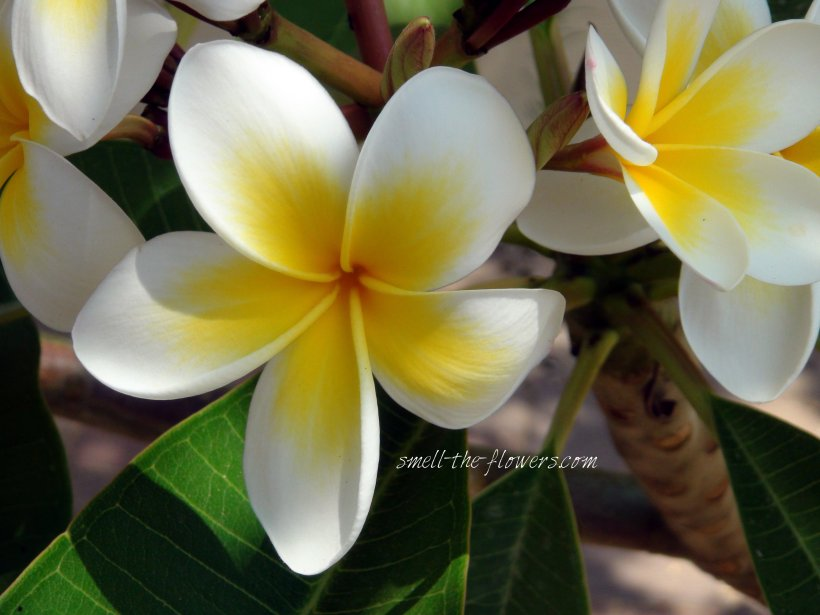 The Tropical Plumeria | smell the flowers blog