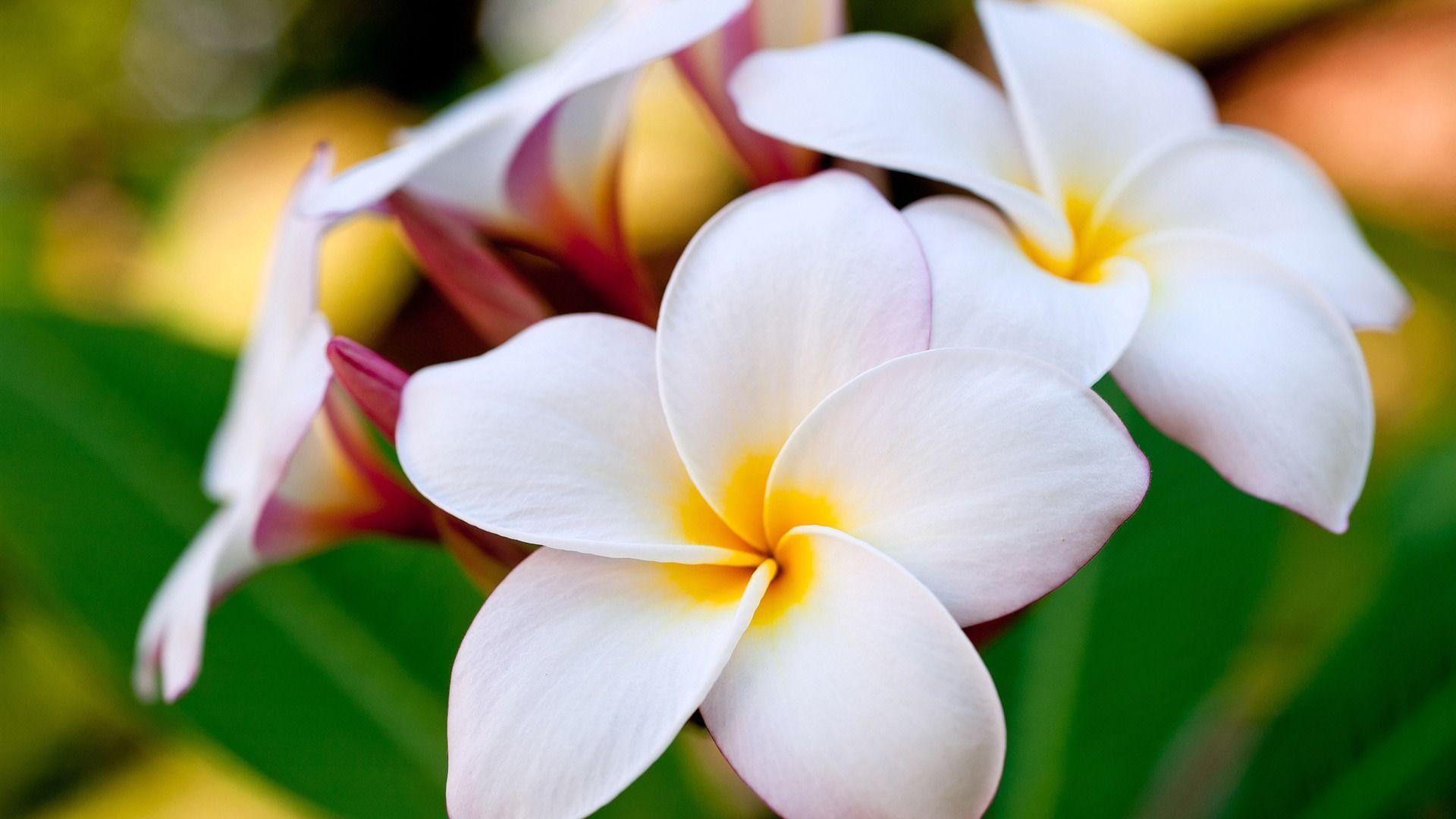 Hawaiian Flower Wallpapers - Wallpaper Cave