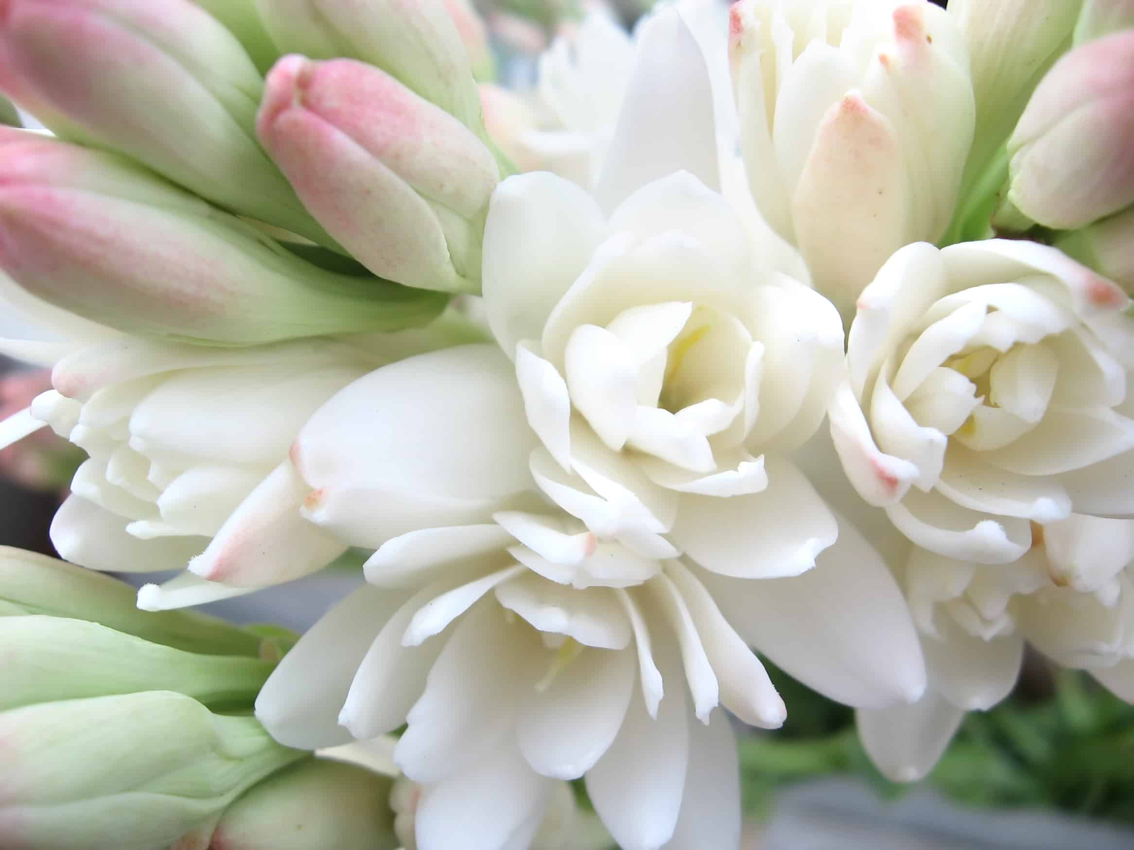 Tuberose Absolute with 3% Dilution of Jojoba Oil ...