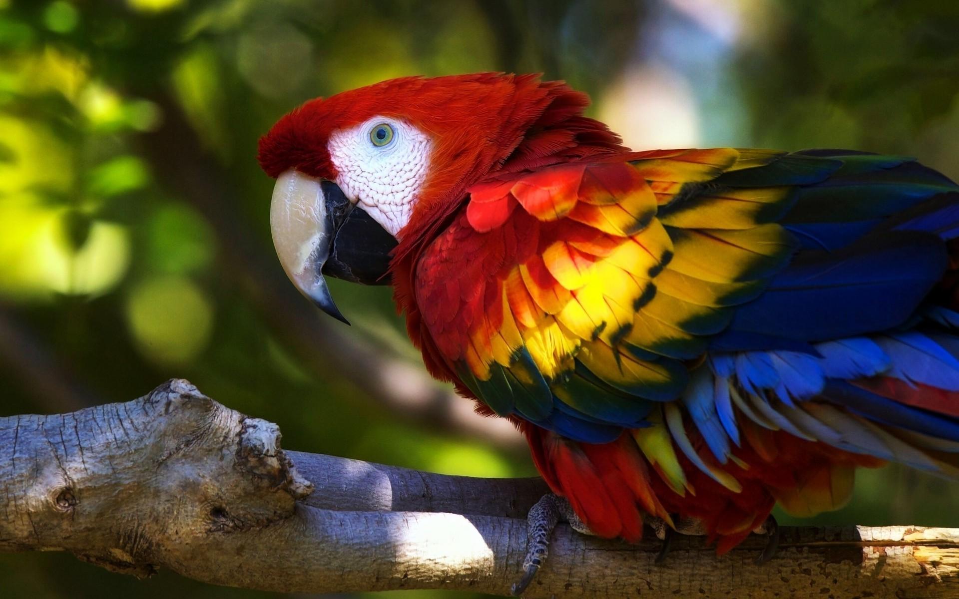 parrot, Animals, Birds, Colorful Wallpapers HD / Desktop ...